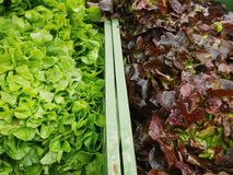 Green salad organic market. Close up fresh green salad with red spinach Royalty Free Stock Image