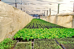 Green salad plant greenhouse Stock Image