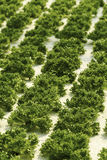 Green salad plant Royalty Free Stock Photography
