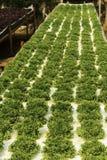 Green salad plant Stock Photography