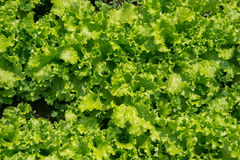 Green salad. Texture: green salad growing in the garden Royalty Free Stock Image