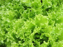 Green salads Royalty Free Stock Photos