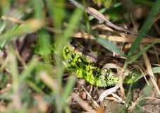 Green Salamander looking to you hiding in the grass stock photography