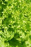 Green Salat Stock Images