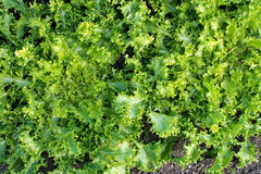 Green salat Cichorium endivia Royalty Free Stock Photos