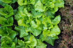 Green salat. Different kinds of green salat in the vegetable garden stock photography