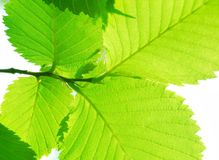 Green sammer leafs. Branch with four beautiful green sammer leafs Stock Photo