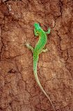 Green sand lizard Lacerta agilis on brown cracked ground Royalty Free Stock Photo
