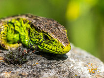 Green sand lizard sunbathing on a rock Royalty Free Stock Image