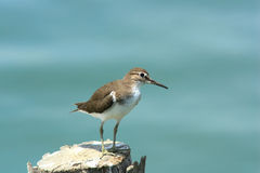 Green Sandpiper. At leampakbear, Thailand Royalty Free Stock Photography