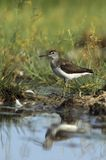 Green sandpiper Stock Photo