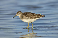 Green sandpiper Stock Photos