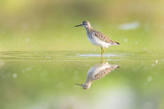 Green Sandpiper Stock Images