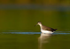 Green Sandpiper (Tringa ochropus). Photo of Green Sandpiper in water Stock Photography
