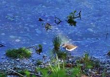 Green sandpiper - Tringa ochropus stock images