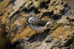Green Sandpiper Stock Photography