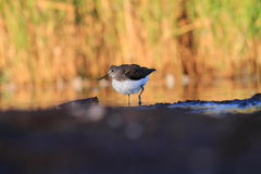 Green Sandpiper Tringa ochropus Royalty Free Stock Photos