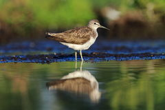 Green Sandpiper Tringa ochropus Stock Photo