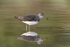 Green sandpiper, Tringa ochropus. Single bird in water, Midlands, April 2011 Royalty Free Stock Photography