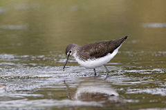 Green sandpiper, Tringa ochropus Stock Photos