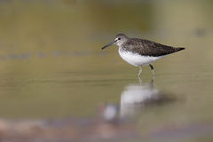 Green sandpiper, Tringa ochropus Royalty Free Stock Photos