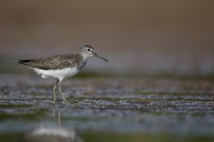 Green sandpiper, Tringa ochropus Stock Photography