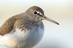 Green Sandpiper Royalty Free Stock Photos