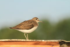 Green Sandpiper Tringa ochropus Royalty Free Stock Images