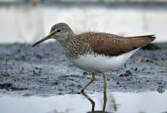 Green Sandpiper wades on muddy shore near water royalty free stock photos