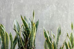 Sansevieria plant with concrete wall. Green Sansevieria plant with concrete wall stock photo