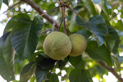 Green santol meliaceae thai fruit on tree. Stock Photo