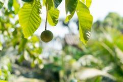 Green santol  thai fruit on tree Stock Image