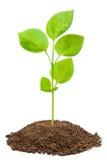 Green sapling. On a white Stock Photos