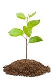 Green sapling of apple tree royalty free stock photos