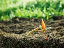 Green sapling growth. A green sapling growth concept Stock Image