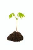 Green sapling Royalty Free Stock Photos