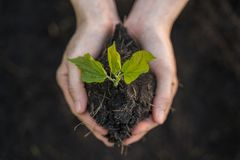 The green sapling plant into soil on farmer hand.  stock images