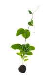 Green sapling Stock Images