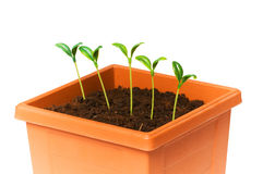 Green saplings Stock Photo