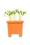 Green saplings growing in the clay pot. Green saplings growing  in the clay pot Royalty Free Stock Photos