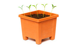 Green saplings growing in the clay pot Royalty Free Stock Images