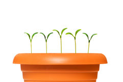 Green saplings growing in the clay pot. Green saplings  growing in the clay pot Stock Photography