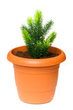 Green saplings growing in the clay pot. Green saplings growing in  the clay pot Royalty Free Stock Image