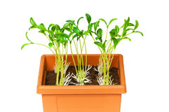 Green saplings growing in the clay pot. Green saplings growing  in the clay pot Royalty Free Stock Photography