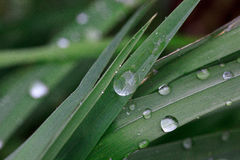 Green sappy grass after rain with dew droplets. Beautiful in nature Stock Photography