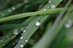 Green sappy grass after rain with dew drops. Royalty Free Stock Photos