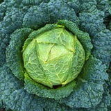 Green Savoy cabbage Royalty Free Stock Photo