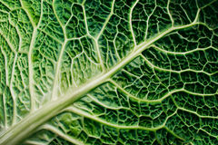 Green savoy cabbage Royalty Free Stock Photos