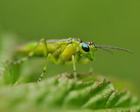 Green sawfly on a leaf in macro Royalty Free Stock Photography