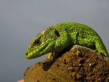 Green scales. A big green male lizard Stock Images